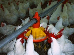 Système d'alimentation et d'abreuvement de poulet de chair