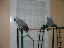 donne perroquets gris du gabon
