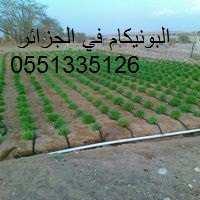 زراعة البونيكام في الجزائر 0551335126///0699167419