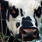 MILA, Pour une meilleure production de lait.