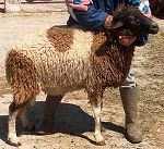 Un des éléments majeurs de la mise en valeur des palmeraies : la race ovine D'man