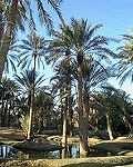 La micro-exploitation phoenicicole saharienne face au développement.