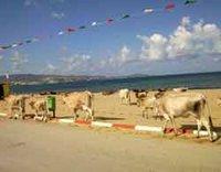 Littoral de Sidi Salem: Pollution, bovins et harraga'