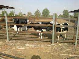 الجزائر تحاول نقل التجربة الهولندية في تربية الأبقار
