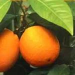 BOUMERDES : Un partenariat pour la culture des agrumes