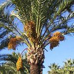 La phoeniciculture