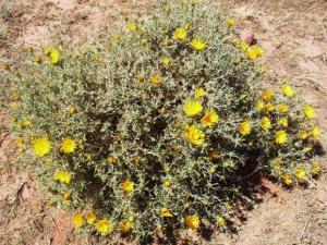 أزهار الصحاري