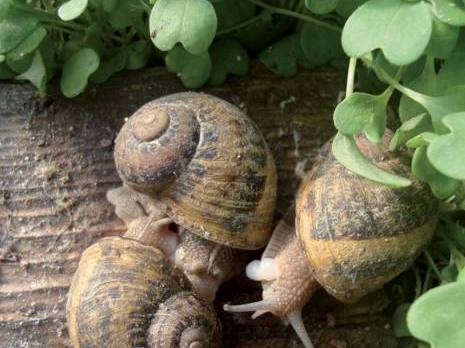 Elevage et exportation de l'escargot ALGERIE - vitaminnedz