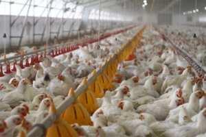 Les producteurs de volaille augmentent