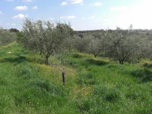 170.000 plants d'oliviers mis en terre à Souk Ahras