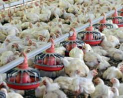 إفلاس 7 آلاف مدجنة خلال صيف 2012! نفوق 50 بالمائة من الدجاج أسبوعين قبل رمضان