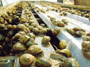 Héliciculture à Mila : Une filière en pleine expansion Mila - AGRICULTURE -  vitaminnedz