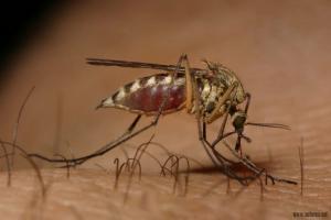 Guelma - Les moustiques affectent la santé publique