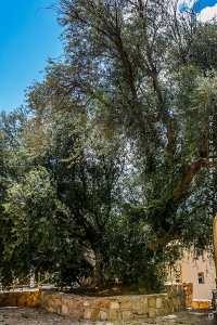 Depuis le monticule de Sidi Messaoud où il a été planté il y a maintenant plusieurs milliers d'années, l'olivier dit de Saint-Augustin veille sur la ville.