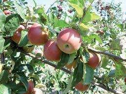 Batna -  La production de pommes en hausse