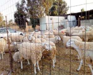 Association «Lyakadha» de Biskra: Le mouton de l'Aïd El Adha en question