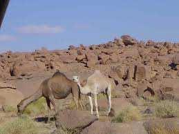 Adrar - Chameaux en danger: Pollution des espaces de parcours