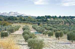 PROGRAMME D'ACTIONS-PILOTES POUR LE DÉVELOPPEMENT RURAL ET DE L'AGRICULTURE: L'oliveraie à perte de vue à Aïn Témouchent