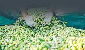 توقع إنتاج 140 ألف قنطار من الزيتون