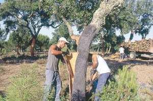 SOUK AHRAS - Récolte de plus de 7.800 quintaux de liège
