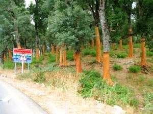 Tlemcen : Une autre vie pour le chêne-liège