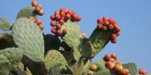 Université de Béjaia - DÉVELOPPEMENT DURABLE: L'apport de la figue de Barbarie