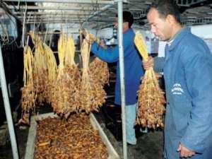 Algérie - Palmier-dattier: Les produits dérivés en mal de certification