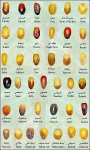 On connait les deglets nours! Quels autres types de dattes connaissez vous?