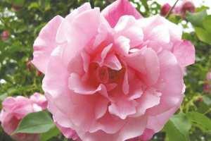 Touggourt - La rose replantée au jardin El-Mourabitoune