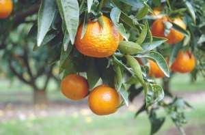 Oran - RELANCE DE L'AGRUMICULTURE À MESSERGHIN: Un problème d'eau bloque le projet