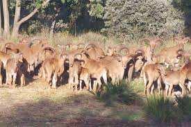 RÉSERVE DE CHASSE DE TLEMCEN Le mouflon à manchettes, une espèce à protéger