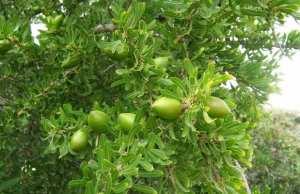 TIOUT (NAÂMA) - Vers la production de l'huile d'argan