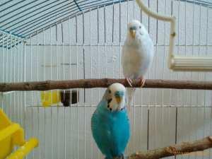 Mes perruches ondulées