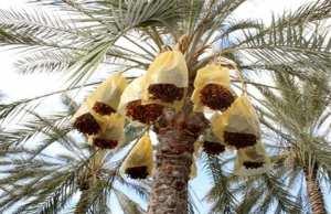 Phoeniciculture dans le Ghaout d'El-Oued : Un patrimoine agricole et touristique