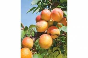 M'SILA -  Baisse sensible dans la production d'abricots