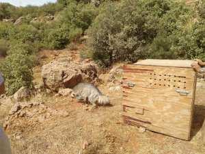 Tlemcen - Après de graves blessures, une hyène soignée puis relâchée