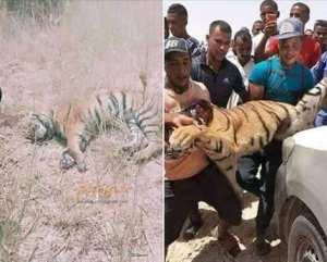 Nezla (Ouargla) - Un tigre abattu dans la région de Touggourt