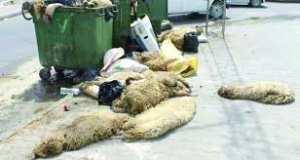 El tarf - Le CET récupère les peaux de moutons