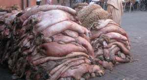 La valorisation des peaux du sacrifice à Adrar: Une tradition perpétuée par la population