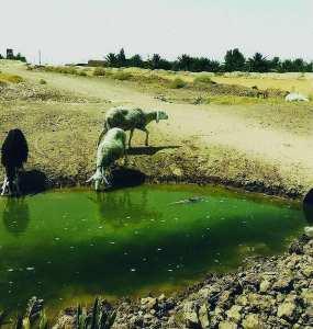 Elevage des ovins à Biskra: Des troupeaux s'abreuvent des eaux usées à El Haouch