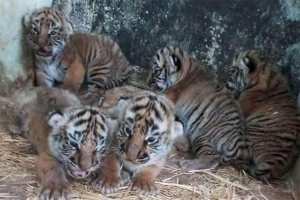 Djelfa - Naissance de cinq tigrons au parc zoologique «Lion de l'Atlas»