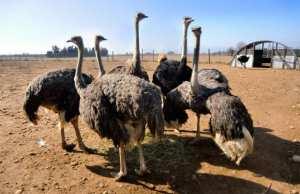 NAÂMA - Une ferme pour l'élevage de l'autruche