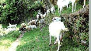 Béjaïa - L'élevage caprin, une filière à développer