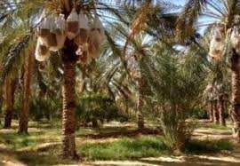 Tébessa - La cueillette des dattes débute dans la région de Négrine