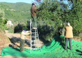 Emjez Edchich (Skikda) - La fête de l'olivier