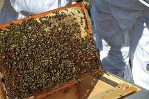 «Le miel algérien est hautement toxique