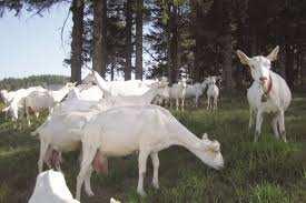 Tizi Ouzou - Séminaire sur l'élevage caprin