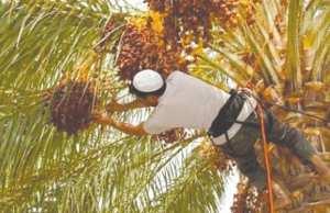 Djamâa (El Oued) - ELLE EST SOUTENUE PAR L'UNION EUROPÉENNE: Formation de grimpeurs de palmiers
