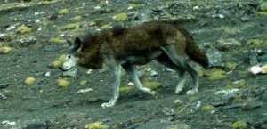 La vie en altitude a créé une nouvelle espèce de loup