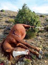 Khenchela - Des chevaux sauvages abattus à Chélia